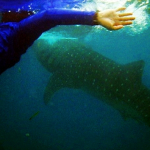 Swim with Whalesharks in Oslob, South Cebu!